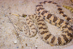 Viper in a sand Stock Photography