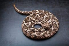 Viper snake Stock Photography