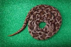 Viper snake Stock Image
