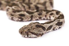 Viper snake Royalty Free Stock Photo