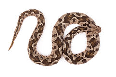 Viper snake Stock Photos