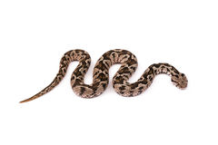 Viper snake Royalty Free Stock Photo