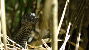 Viper snake head face on the grass stock photography