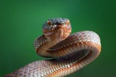 Viper snake, mangrove viper snake, snake, closeup. Mangrove viper ready to attack Royalty Free Stock Photography