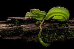 Viper Tropidolaemus wagleri royalty free stock photography