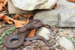 Viper (Vipera berus) Stock Photos