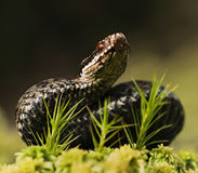 The viper was grouped for attack Royalty Free Stock Image
