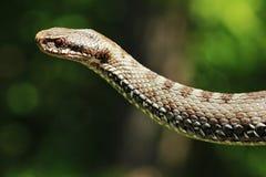 vipera змейки berus Стоковые Фотографии RF