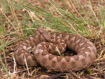 Vipera ammodytes montandoni Royalty Free Stock Photos