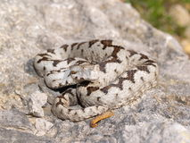 Vipera ammodytes Royalty Free Stock Photography