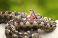 Vipera ammodytes showing its fangs. The nose horned viper is one of the most venomous widespread snakes from Europe Stock Image