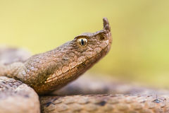 Vipera ammodytes Royalty Free Stock Images