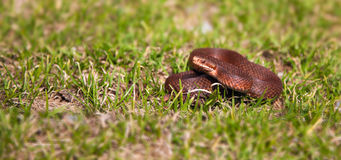Vipera Berus Royalty Free Stock Photography