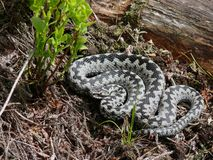 Vipera berus Royalty Free Stock Photo