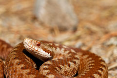 Vipera berus Royalty Free Stock Images