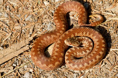 Vipera berus Royalty Free Stock Photos