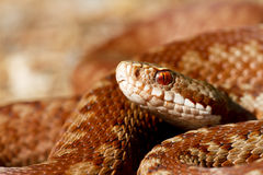 Vipera berus Stock Photo