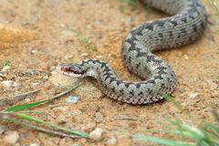Vipera berus coming towards the camera Royalty Free Stock Photography