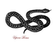 Vipera berus XIX century engraving Stock Photos