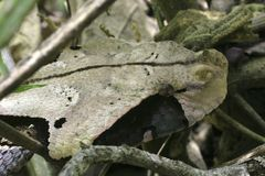 Vipera del Gabon Fotografie Stock