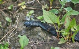 Vipera della foresta nera del serpente velenoso Immagini Stock