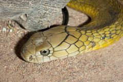 Vipera di Russel - serpente tossico Fotografia Stock Libera da Diritti