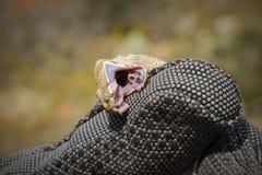 Vipera lebetina beißender Schutzhandschuh Lizenzfreie Stockfotos
