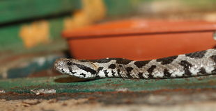 Vipera palaestinae in a terrarium Stock Photos