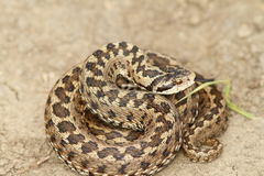 Vipera ursinii standing on the ground Royalty Free Stock Photos