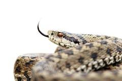 Vipera velenosa isolata Fotografie Stock Libere da Diritti
