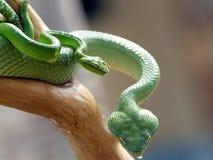 Vipera verde Fotografie Stock