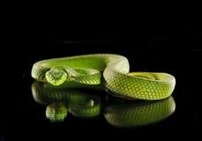 Vipera verde rara Fotografia Stock Libera da Diritti
