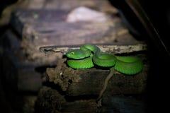Vipere di pozzo verdi Fotografia Stock