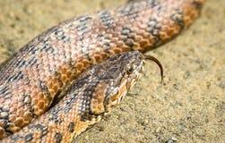 Viperine Schlange in Doñana Spanien stockbild