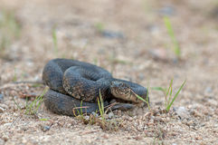 Viperine water snake Royalty Free Stock Photo