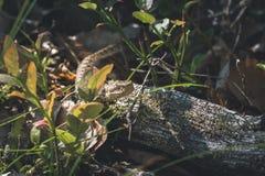 Vipernschlange, die in den Wald kriecht Lizenzfreies Stockfoto