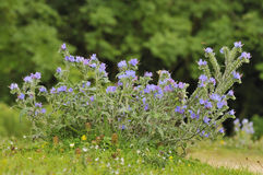 Vipers Bugloss Royalty Free Stock Images