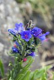 Vipers Bugloss Flower Royalty Free Stock Image
