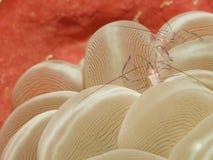 Vir philippinensis - Schaaldier - Sulawesi royalty-vrije stock fotografie