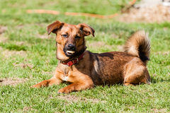 Vira-lata do cão do bassê Fotografia de Stock Royalty Free