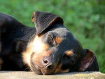 Vira-latas do cão preto Fotos de Stock