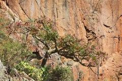 Virakträd i blomning Royaltyfri Bild