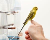 Vird jaune canari Photographie stock
