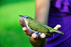Vireo Stock Images