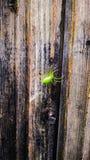 Virescensde Micrommata Imagen de archivo libre de regalías