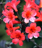 Vireya Rhododendron - Cyprian Stock Image