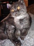 Virgil den exotiska Shorthair katten fotografering för bildbyråer