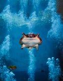 Virgil - Miękki Shell żółw Fotografia Stock
