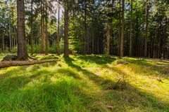 The virgin forest of the fresh green Stock Photography