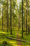 Virgin forest Royalty Free Stock Photos